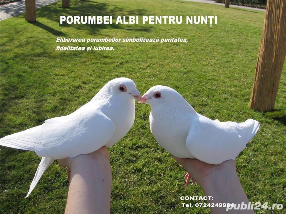 Porumbei albi pentru nunta,