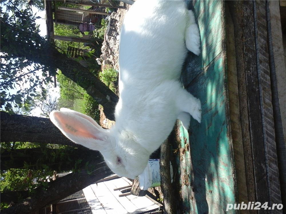 iepuri urias gri german alb.californian debrecen