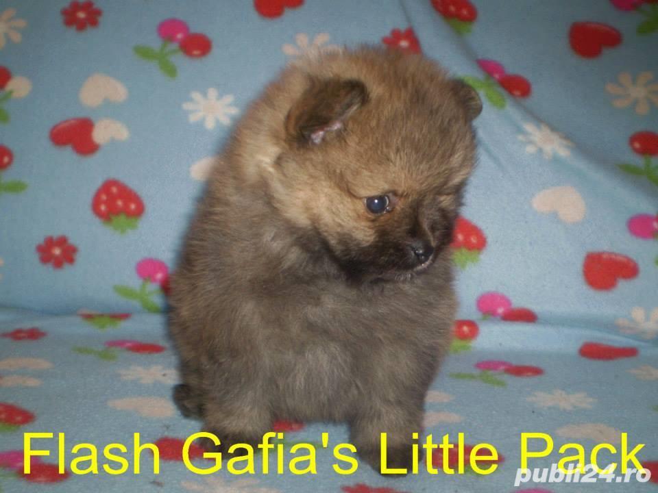 Pomeranian cu pedigree