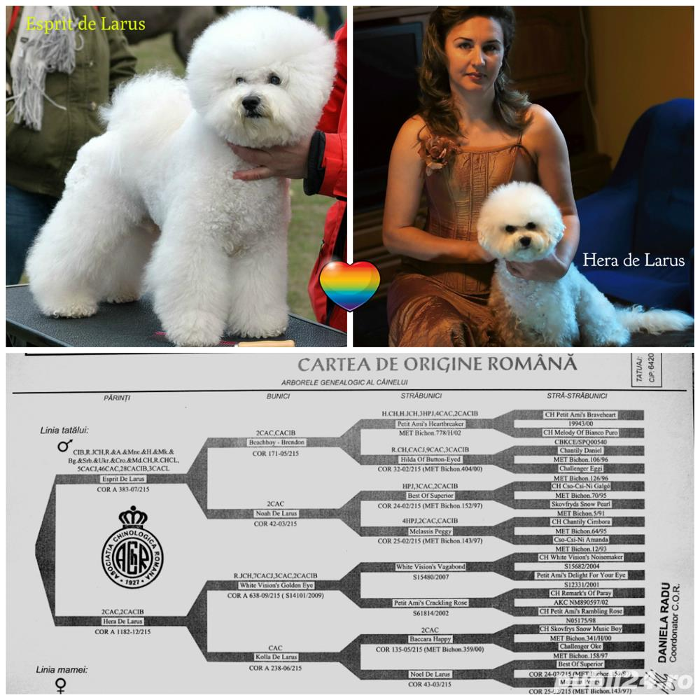 Vand Bichon Frise cu pedigree si pasaport international