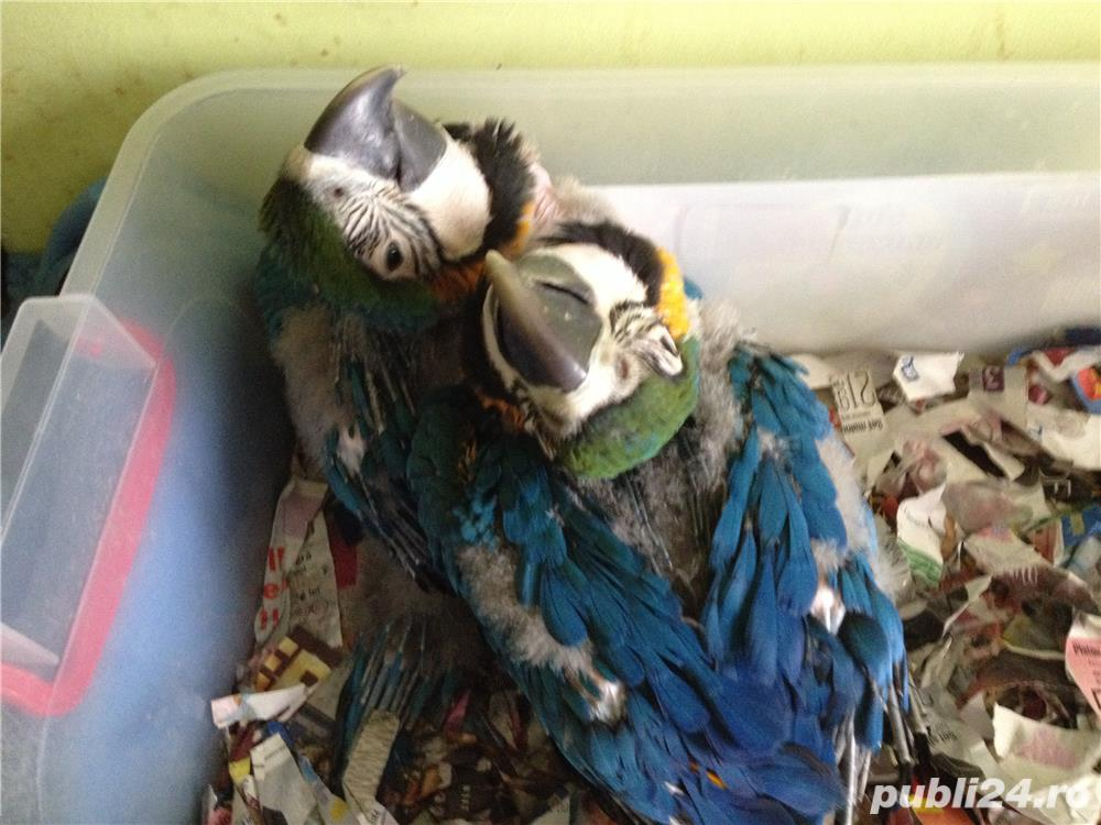 Vand pui papagali Jako si ara