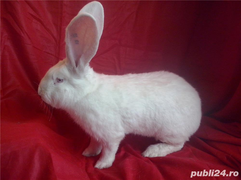 Vand iepuri urias alb