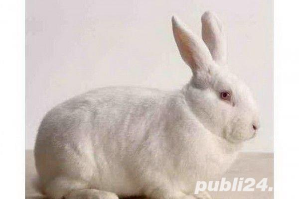 Vand iepuri rasa Neozeelandez Alb si Urias de Transilvania
