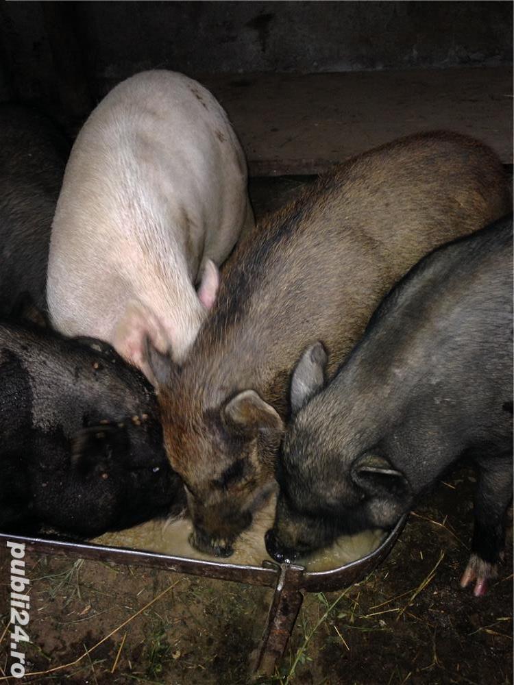 Porci vietnamezi  Olt