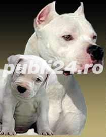 Dog Argentinian, alb curat, pui la varsta de 6 saptamani