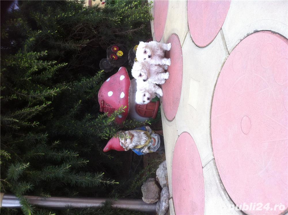Fetițe bichon maltese toy- albe ca zapada