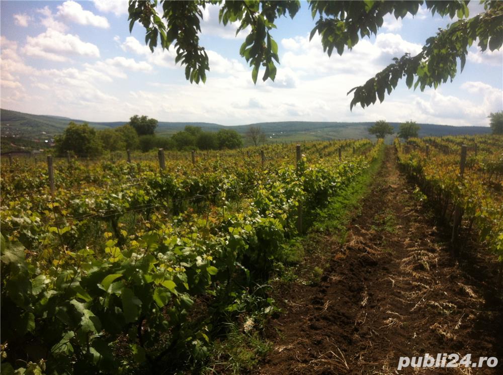 Vand  2 hectare ( Posibil si PARCELAT pt . casa  ) vie nobila  tomesti / dealul doamnei