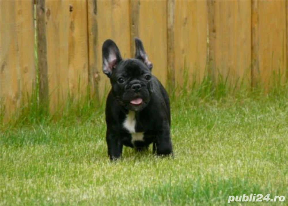 Bulldog Francez rasa pura la oferta! Livrare in tara!