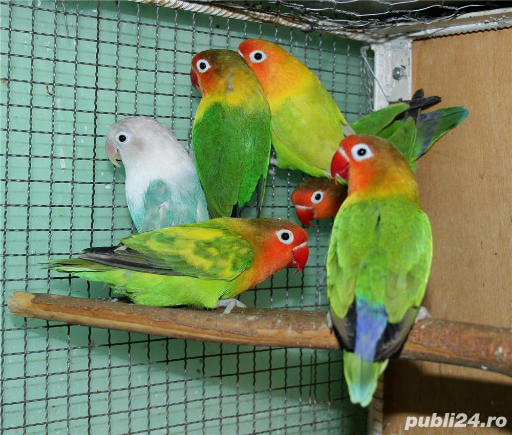 Vand papagali AGAPORNIS