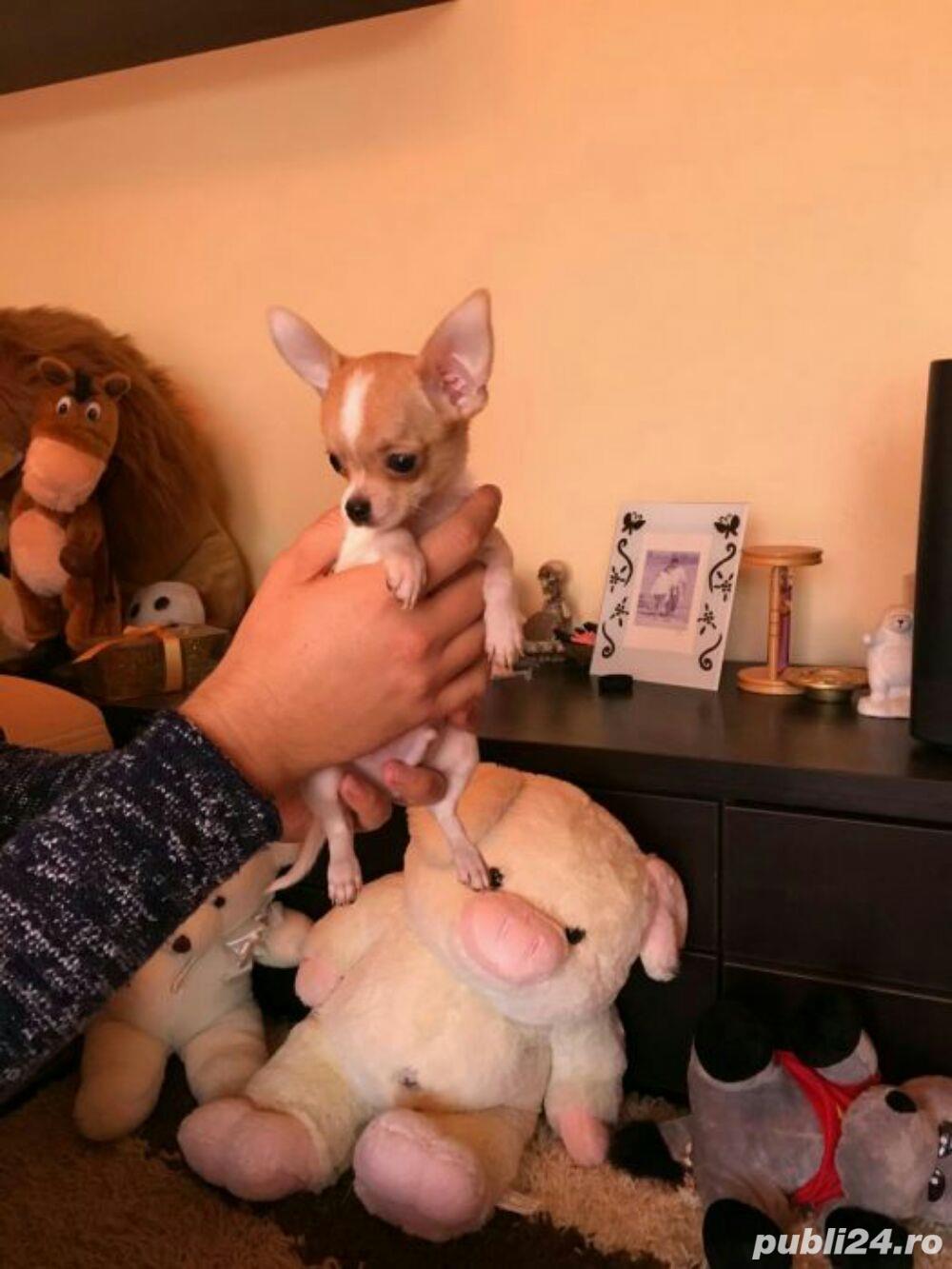 Chihuahua extra miny toy