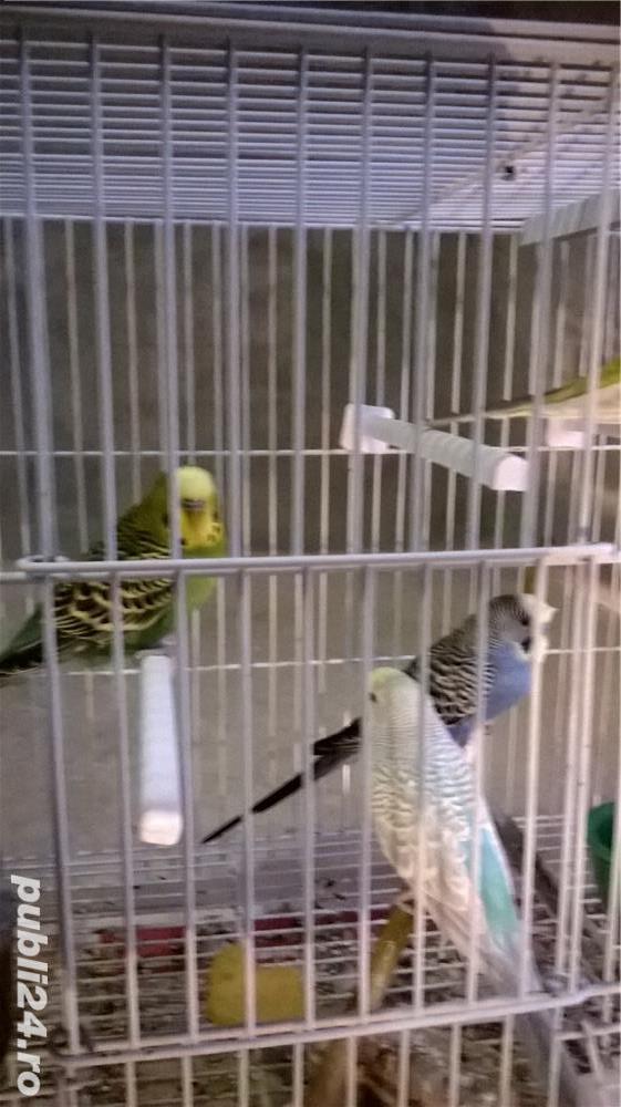 vand papagali perusi