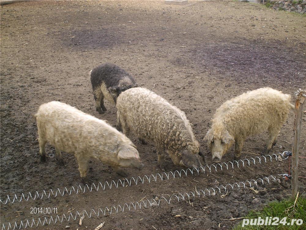 Porc Mangalita pentru sacrificat