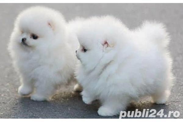 Pomeranian rasa pura- vaccinati, inregistrati- livrare oriunde