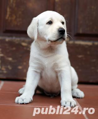 Labradori de calitate, par scurt, rasa pura