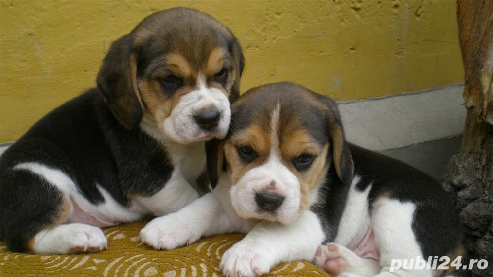 Vand caini beagle bucuresti iasi oradea constanta brasov