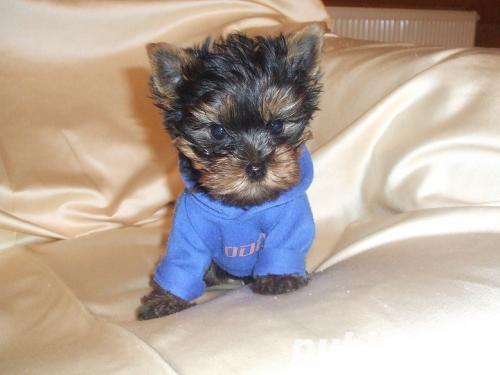 Yorkshire terrier Mini TOY ~ Vaccin+ Carnet+ Pasaport+ Livrare oriunde~0757796023