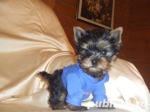 Yorkshire Terrier Mini Toy- Calitate- Garantie- Rasa Pura- Livrare in Iasi