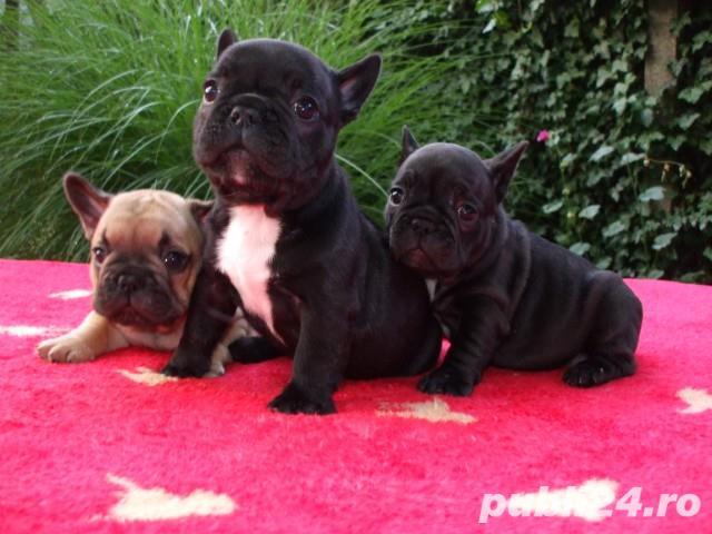 Pui Bulldog Francez gri,negri, bej- Rasa pura- Garantie- Livrare in orice oras