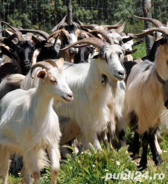 vand 50 de capre de rasa franceza - saanen- talie mare , gestante la prima si a doua fatare. pret ne