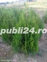 TUIA pentru gard viu sau plantare individuala