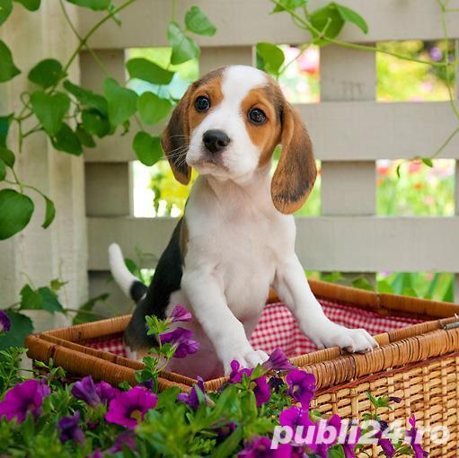 Beagle talie medie, par scurt