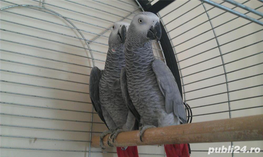 Papagali Jako