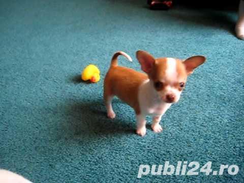 Chihuahua cu par scurt, talie foarte mica, pentru apartament