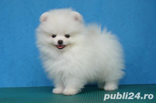 1 2 Pui Pomeranian Boo Toy Calitate Garantie Livrare In Brasov