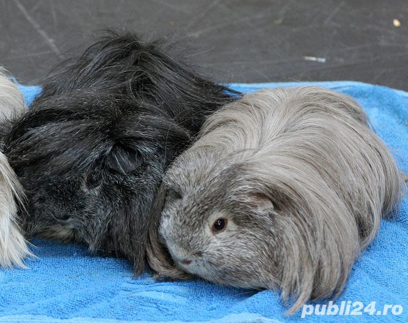 porcusori de guinea rasa pura