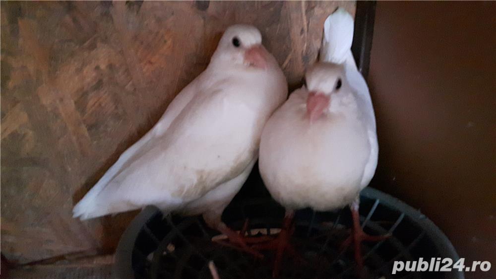Voiajori albi si vineti