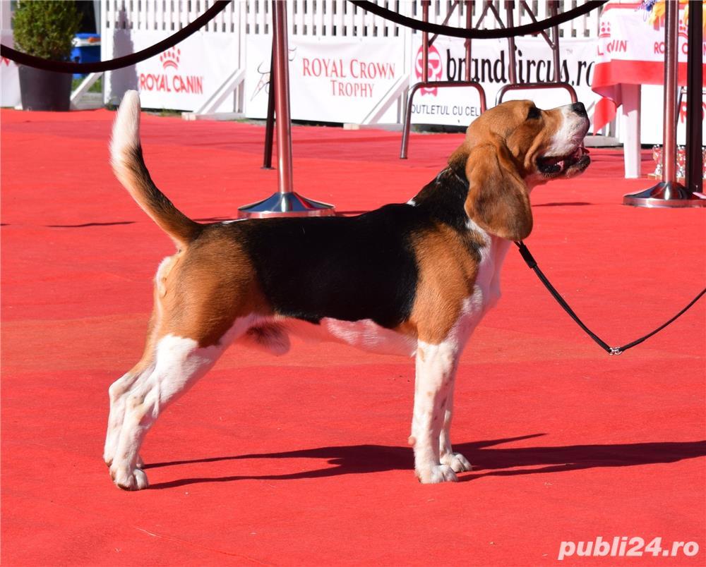 ofer pt monta mascul beagle cu pedigree