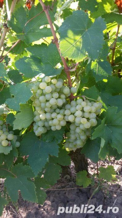Vanzare afacere viticola: podgorie jud Buzau, Dealul Viei