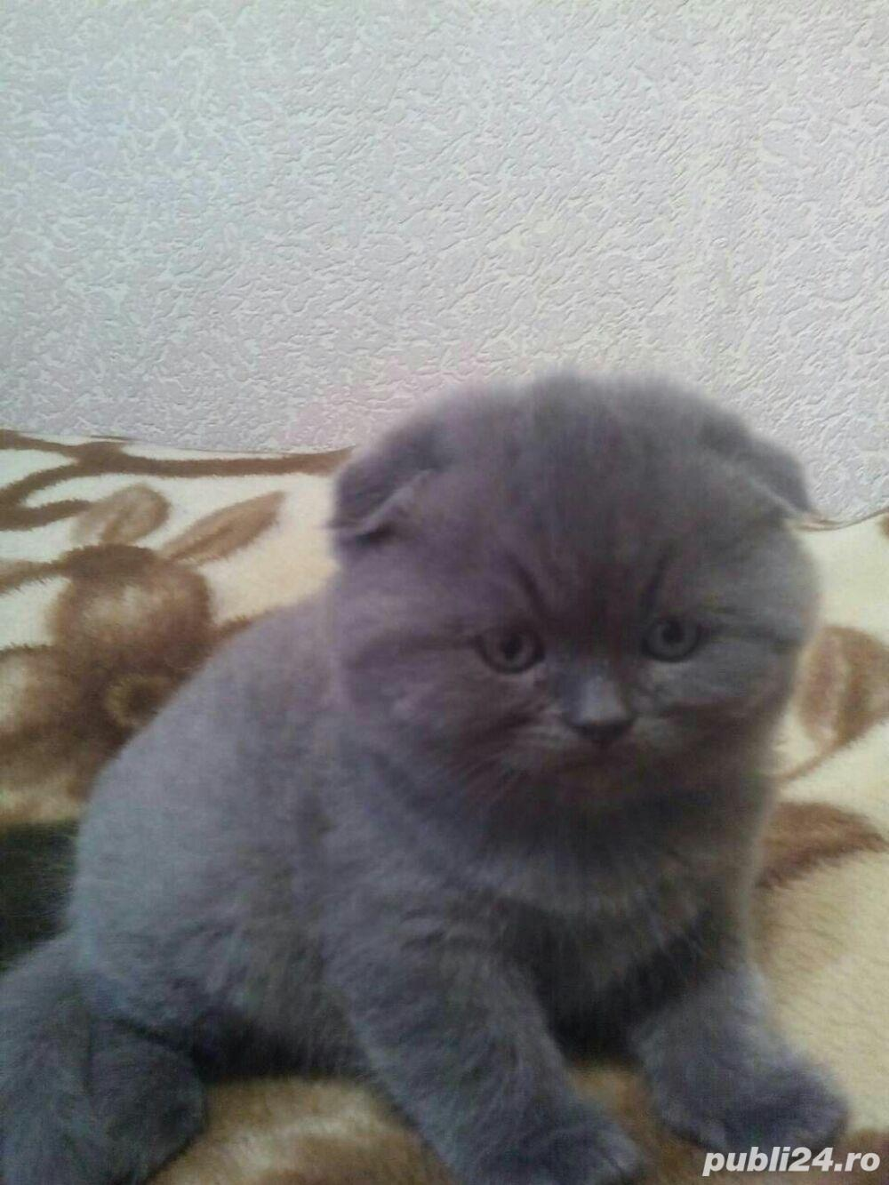 Vand pui pisica scottish fold asigur transport