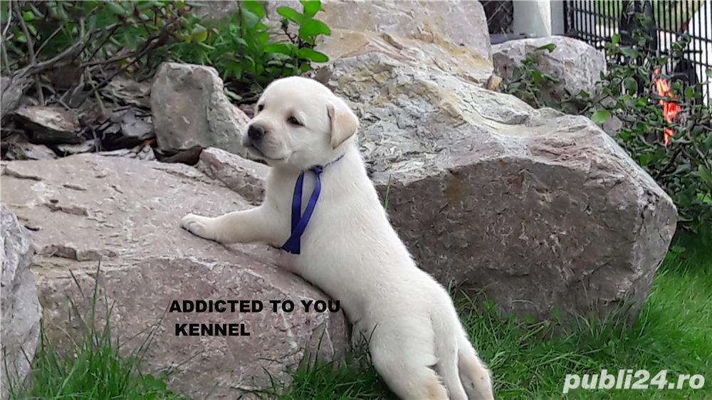 Catei labrador cu pedigree tip A