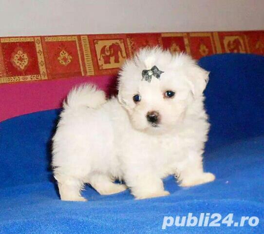 Bichon Maltez toy, alb imaculat- rasa pura- livrare la Timisoara