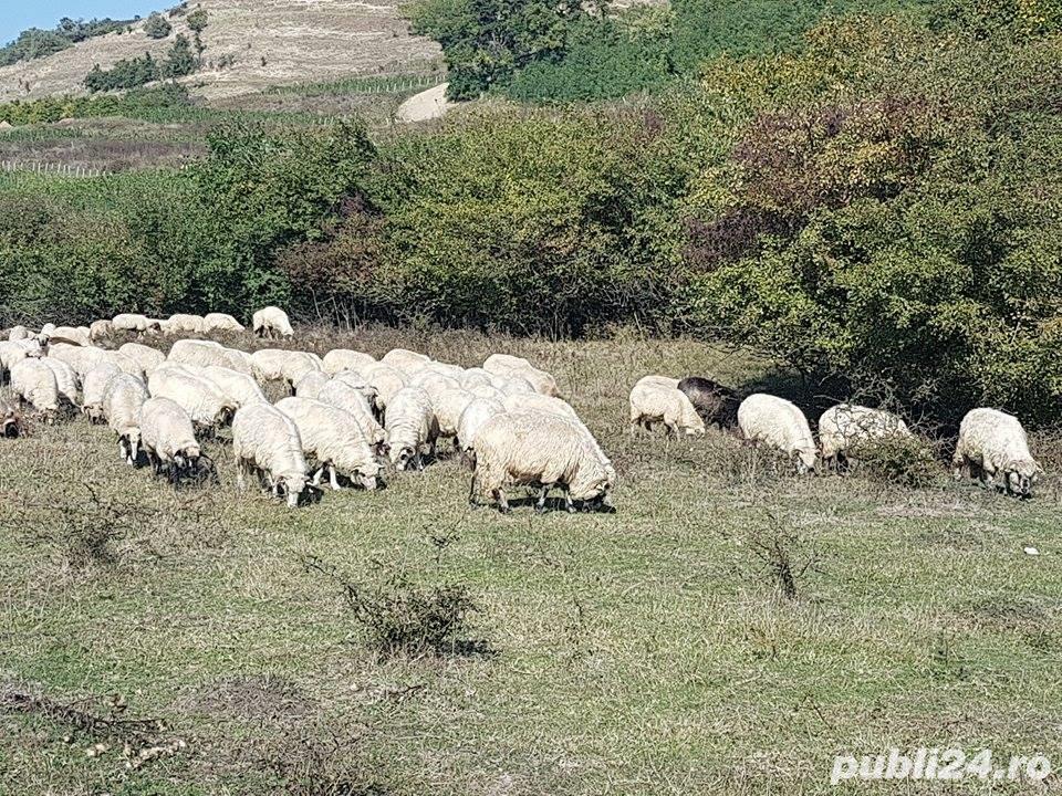 Vand 200 de oi si miei