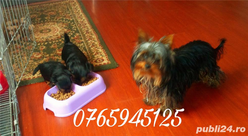 Pui yorkshire terrier toy