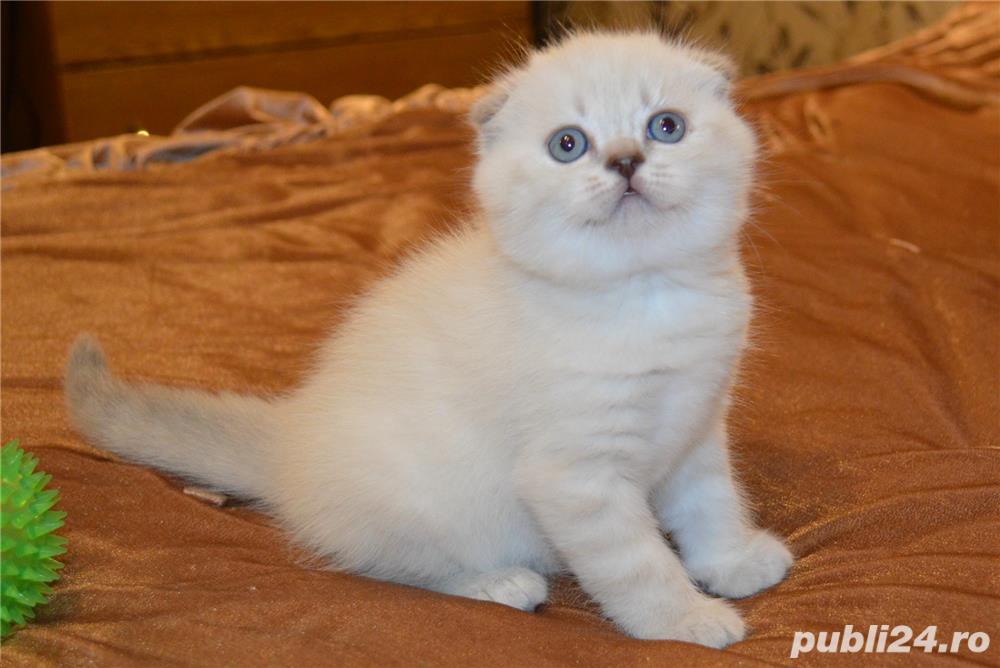 Vindem pisicute scottish fold bucuresti brasov constanta oradea