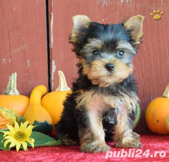 Yorkshire Terrier Mini Toy de vanzare