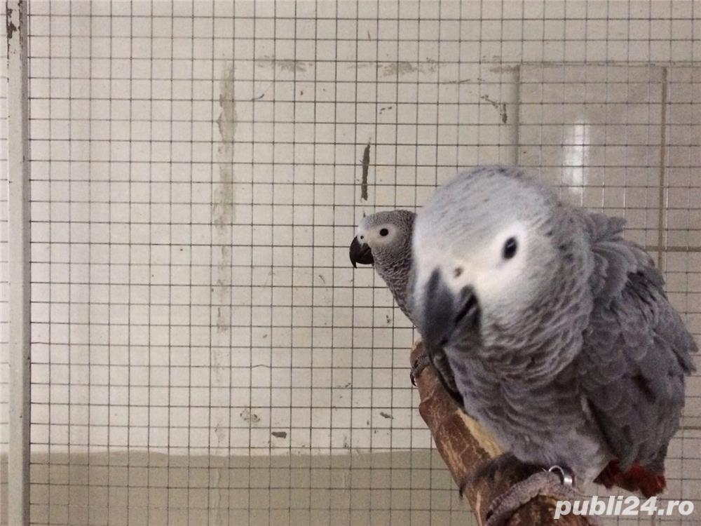 Pui papagal jako legal cu acte CITES