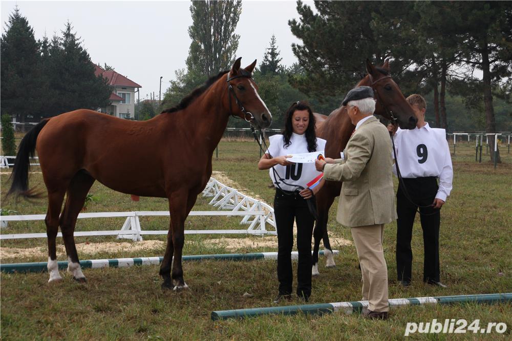 SHILA(cal sport shagya-arab)