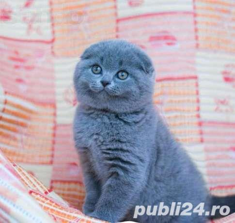 pui pisicsa scottish fold
