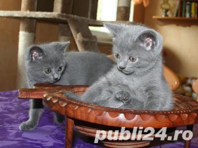 vand pui pisica albastru de rusia