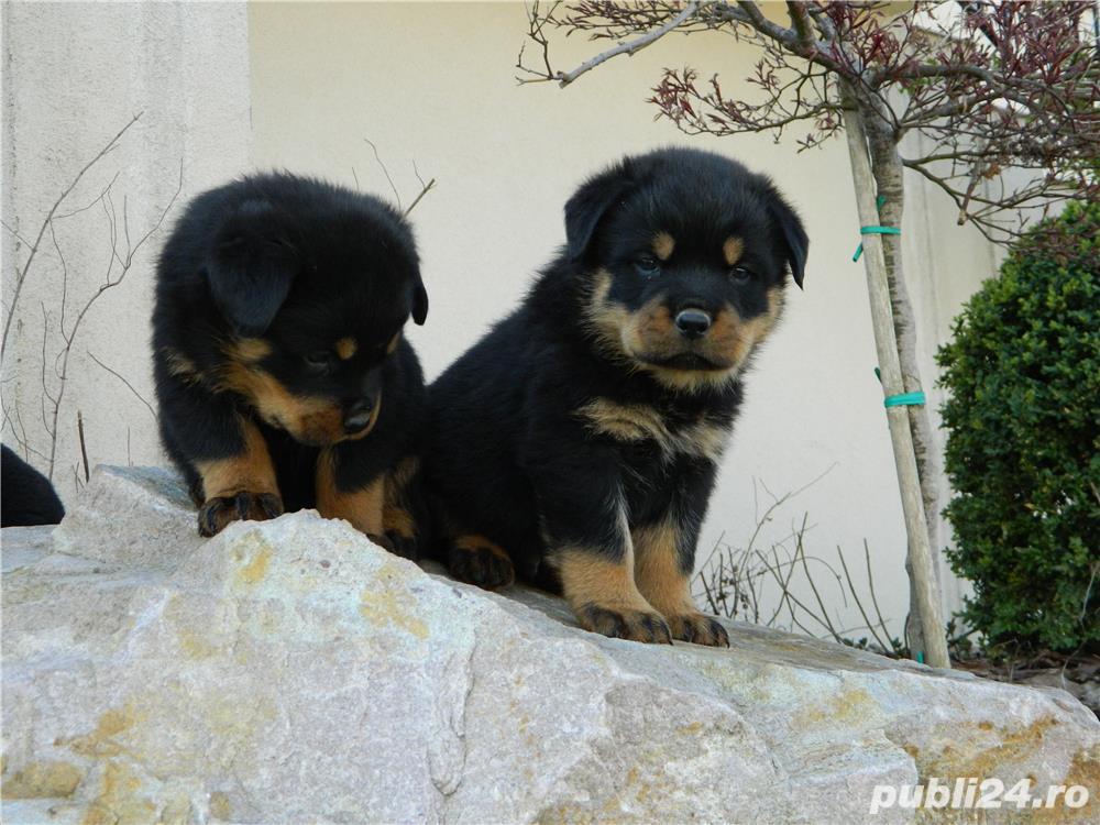 catei rottweiler cu pedigree