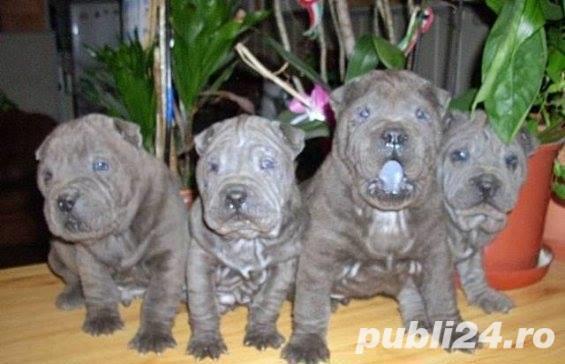 Shar-pei blue(albastru)!!