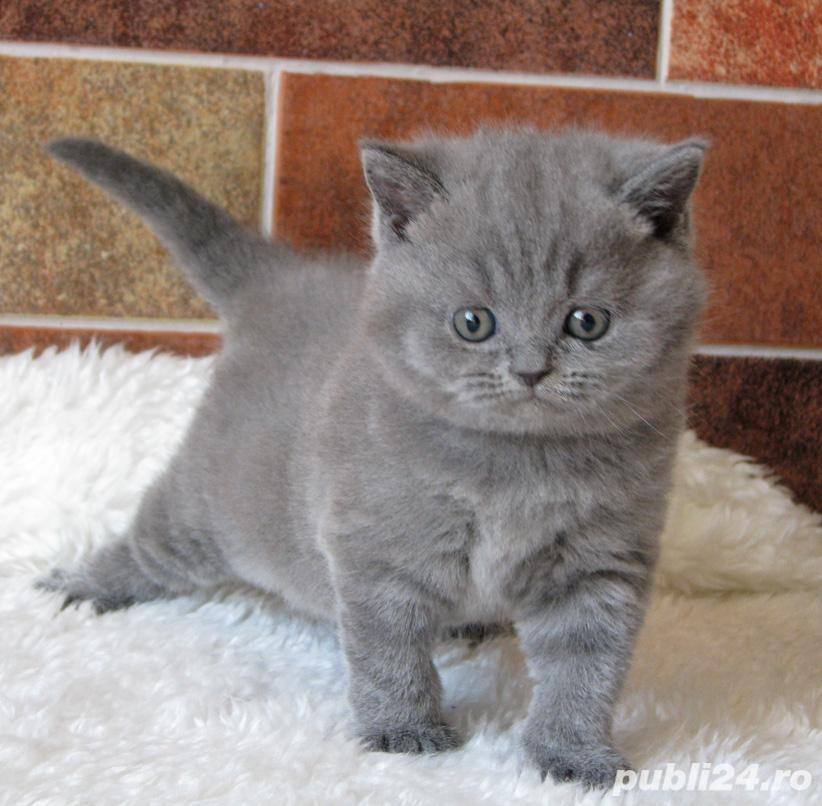 Puiuți British shorthair