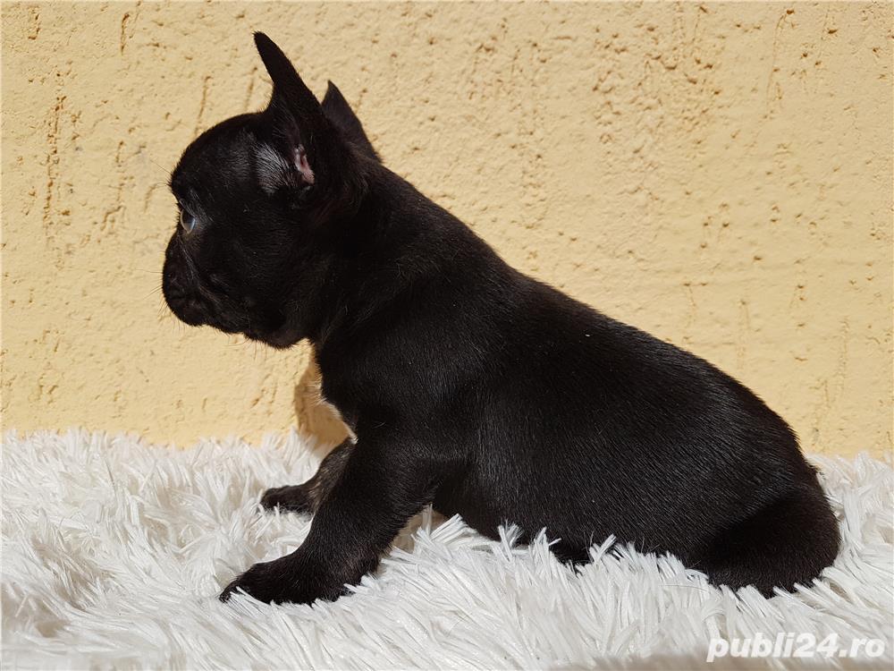 Bulldog francez mascul negru
