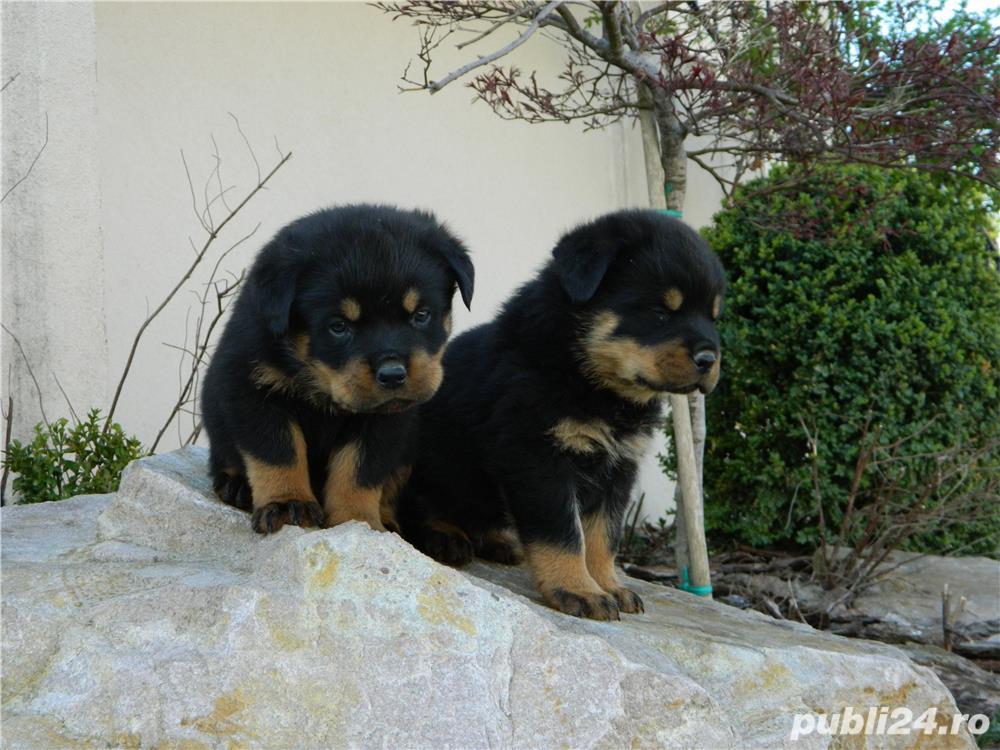 pui rottweiler cu pedigree