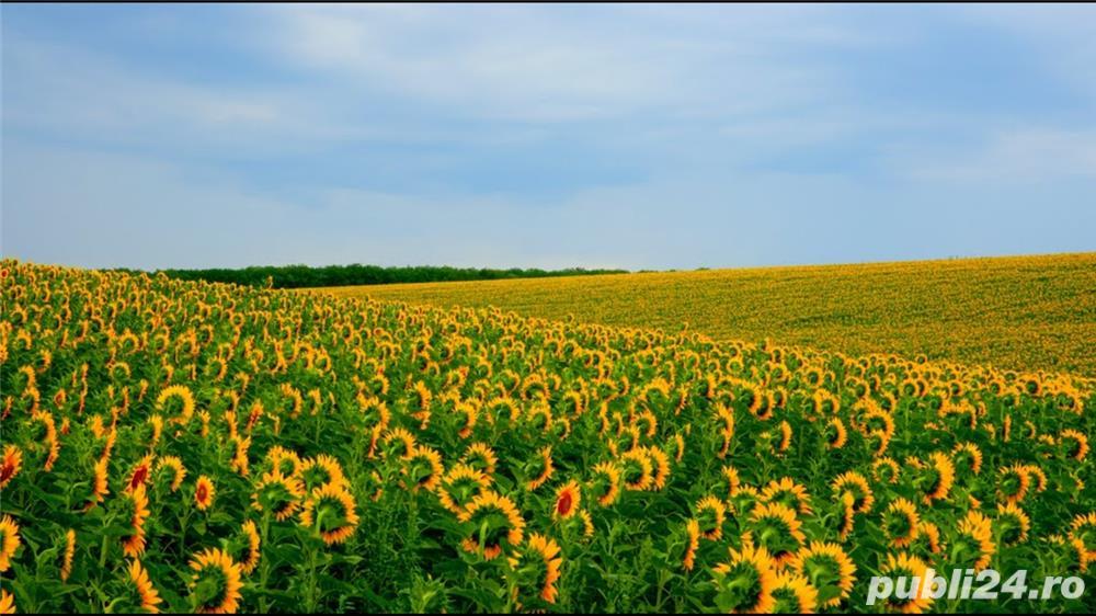 Teren agricol 300 ha - Timis - Arad
