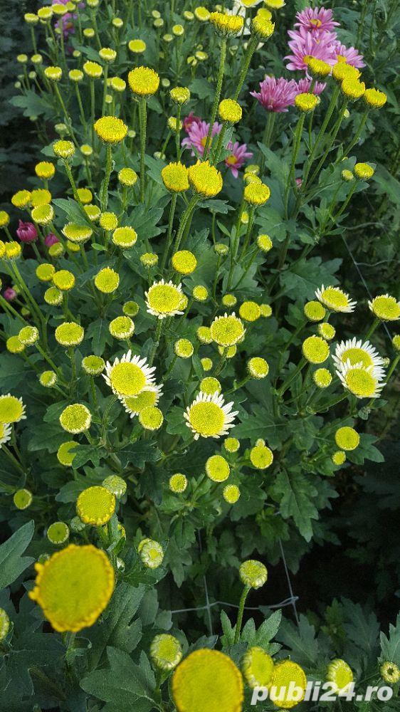 Butasi crizanteme